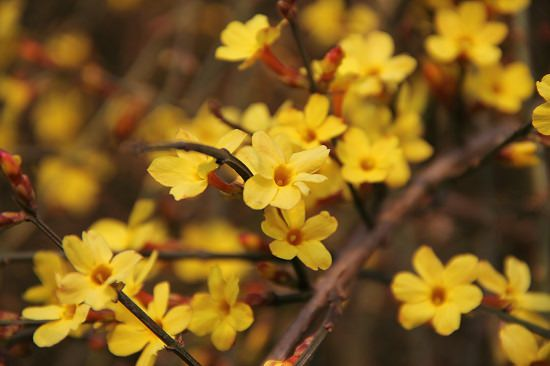 winter blooming shrubs