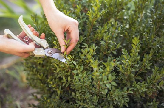 Learn why and how to prune herbs in this detailed guide. Pruning herbs make these plants productive, healthy, and flavorful!