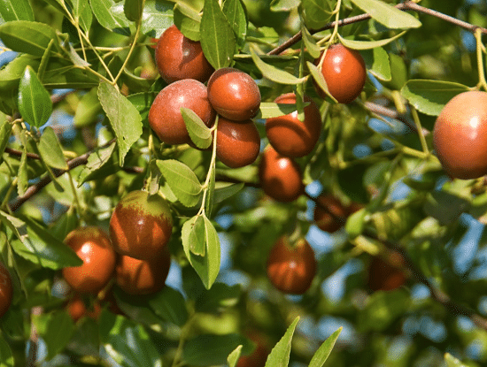 25 Best Drought Tolerant Fruit Trees | Low Maintenance Fruit