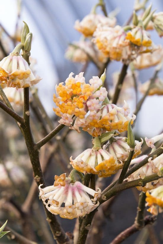These Winter Flowering Shrubs can make your monotonous winter garden interesting, you can also grow most of them in containers.