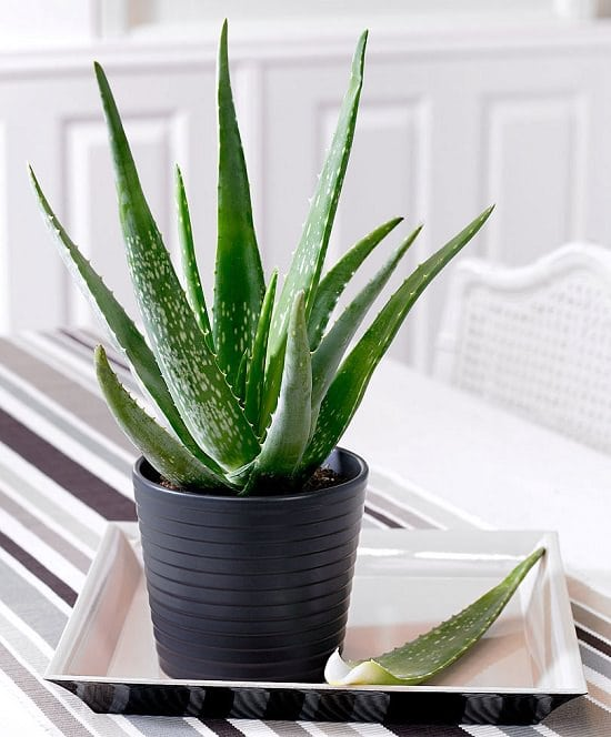 Unbelievable There Are Succulents You Can Eat Edible Succulents Balcony Garden Web