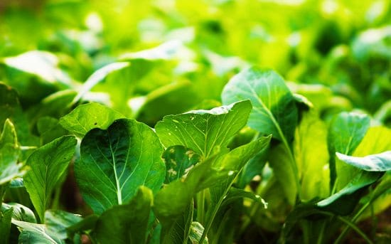 Grow these 22 best Green Leafy Vegetables in Containers in your balcony or patio for the supply of fresh homegrown salad greens!