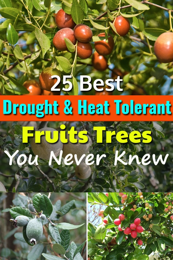 Once established these 25 best Drought Tolerant Fruit Trees need very occasional or no supplemental watering to grow and produce fruits.