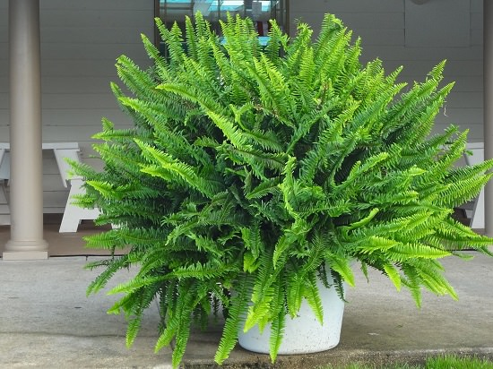 Kimberley Queen Fern removes formaldehyde