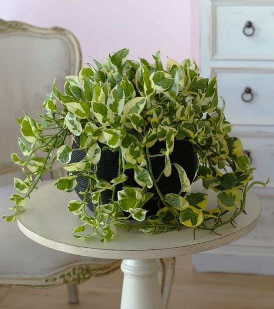 devil's ivy aka pothos is one of the best air purifying houseplants