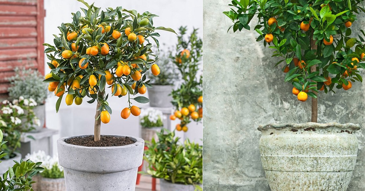 5 best citrus trees for containers  growing citrus in pots
