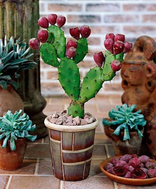 prickly pear cactus care and growing