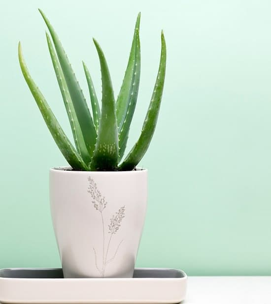 Aloe vera benefits are endless! But we tried to list some of the major aloe vera gel health benefits that are proven in studies.