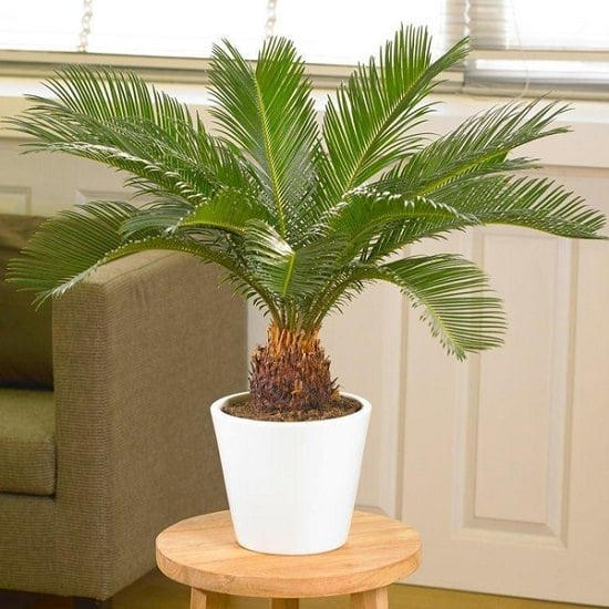 sago palm care