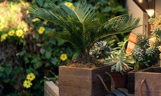 Whether you're Growing Sago Palm in a Container or on the ground, there're a few things you need to know before planting them. Learn them well in this Sago Palm Care guide!