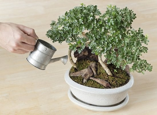 how to care for bonsai--watering