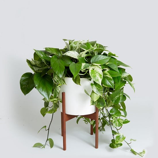 These Pothos Plant Benefits are science-backed and confirmed in various studies. And, don't forget, it's a low care houseplant that can grow without sunlight!
