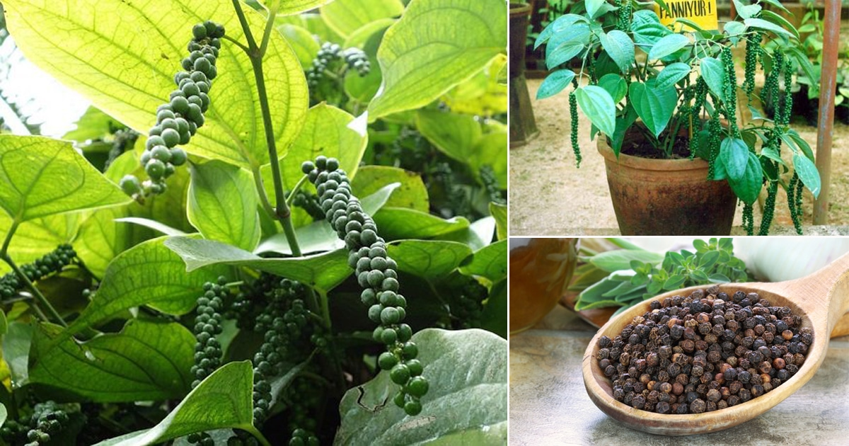 How To Grow Black Pepper Plant Growing Peppercorn