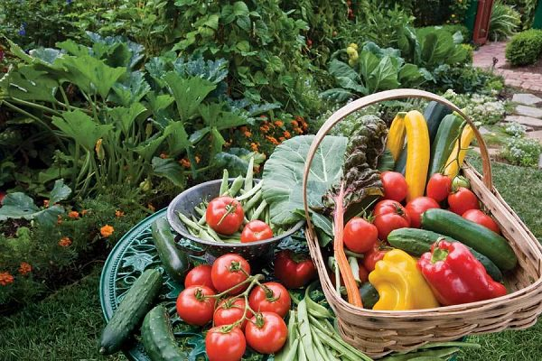 If you've decided to start a Vegan Garden based on veganic principles, this beginner's guide is going to be an informative read for you.