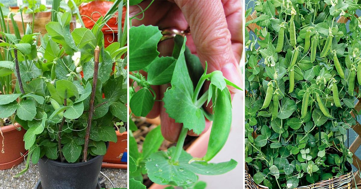 Everything About Growing Peas In Containers & Pots | Balcony Garden Web