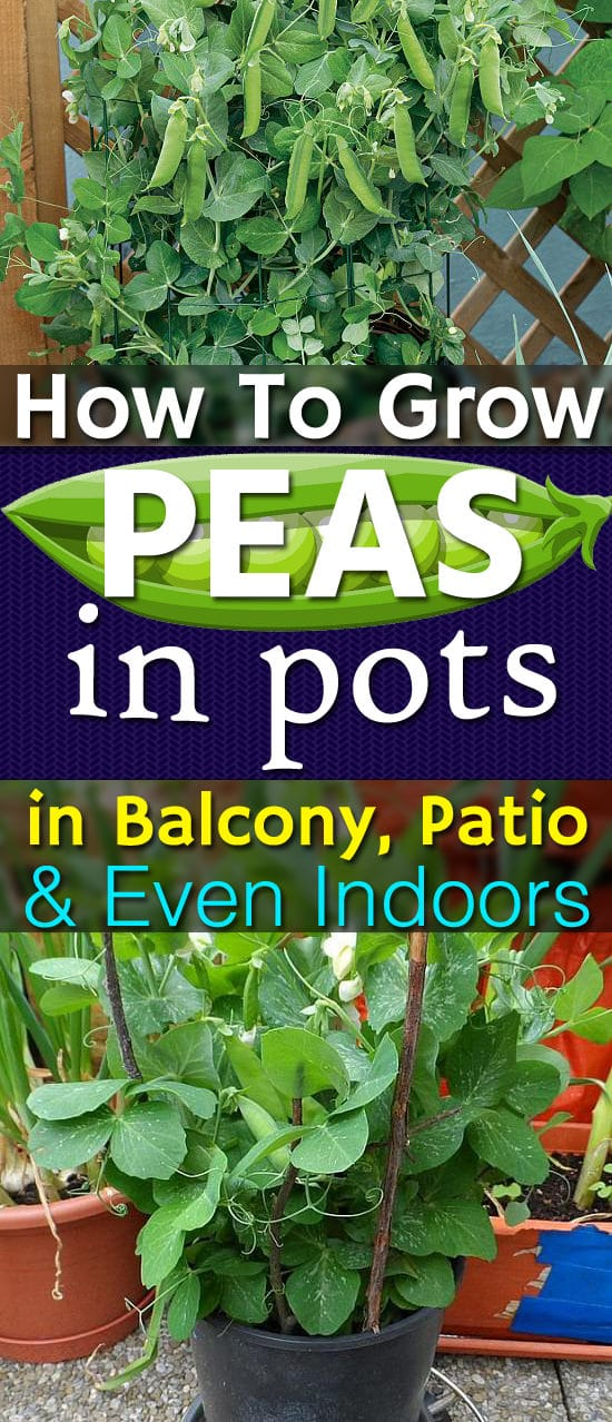 Because sweet and plump, freshly picked homegrown peas taste so heavenly, learn how to grow them in pots in your balcony and patio and even indoors.