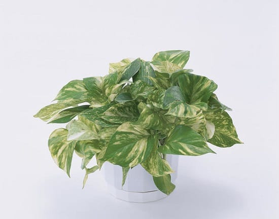 pothos plant benefits