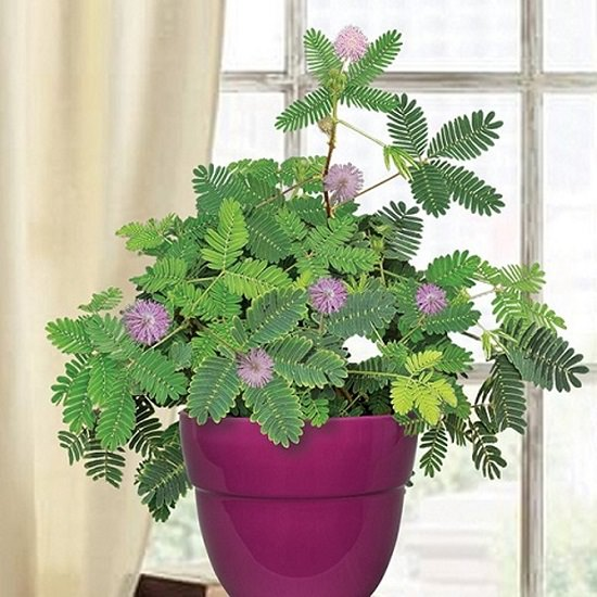 Sensitive plant is one of the best houseplants for kids