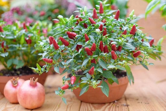 Use Epsom salt for Peppers to grow tastiest, most productive and disease-free pepper and chili plants in containers and ground.