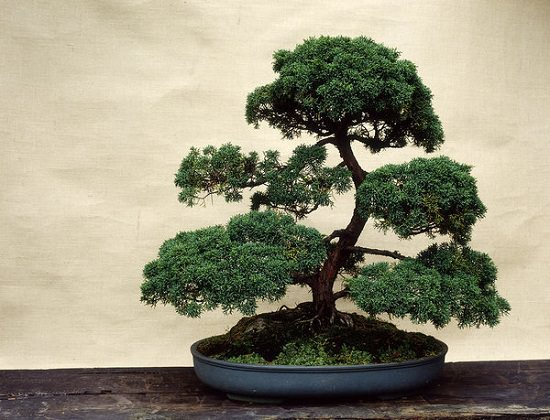 If you're a beginner, these Bonsai Tree Care Tips educate you about basic aspects like choosing the right soil, fertilizer, pot, watering, etc.