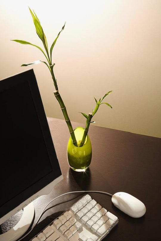 Lucky Bamboo is one of the best office desk plants, it also looks goes well as a table centerpiece.