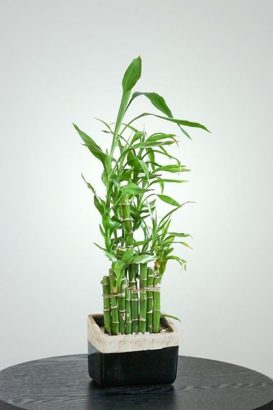 Lucky Bamboo Care Tips and How to Grow it