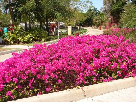 If you're a gardener or a landscaper, must learn about these amazing Bougainvillea Uses. You can grow this beautiful shrub or climber without the maintenance.