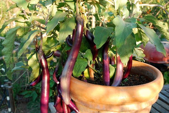8 Best Summer Vegetables To Grow In Pots Summer Vegetable Garden