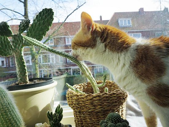 Are Succulents Poisonous to Cats? Should you grow them indoors? Find out answers to all these questions in this article and also learn about 11 Succulents Safe for Cats!