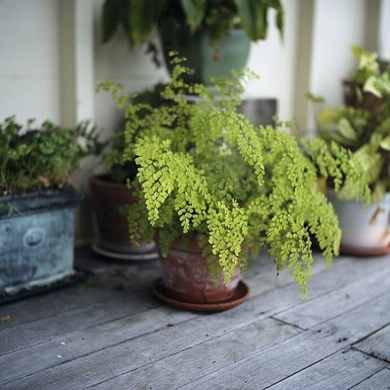 Epsom Salt for Ferns can do wonders! It can make your fern plants greener and lusher. How? Find out in this article.