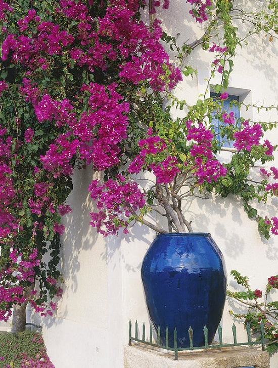 If you're a gardener or a landscaper, must learn about these amazing Bougainvillea Uses and be enthralled!