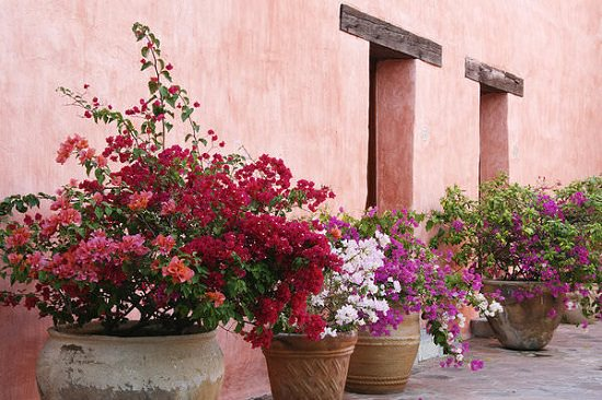 Landscaping with Bougainvilleas