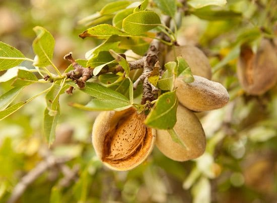 Do Almonds Grow on Trees? If yes, how to grow an almond tree? Growing almonds is easy? Find the answers to these questions in this article!