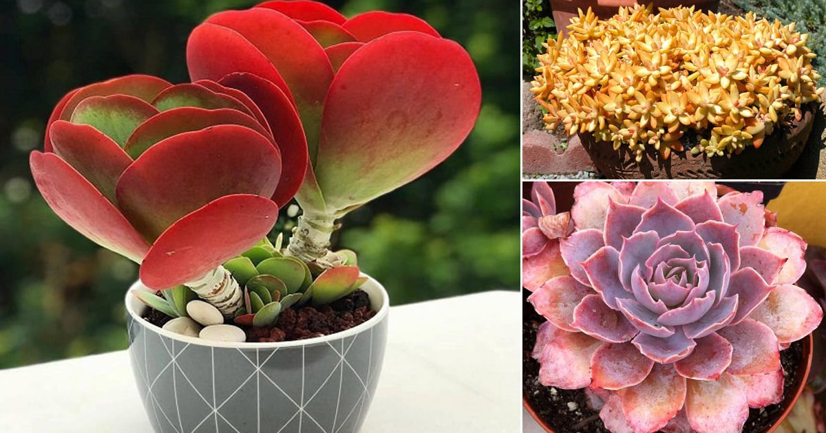 34 Colorful Succulents That Are Incredibly Beautiful Balcony Garden Web