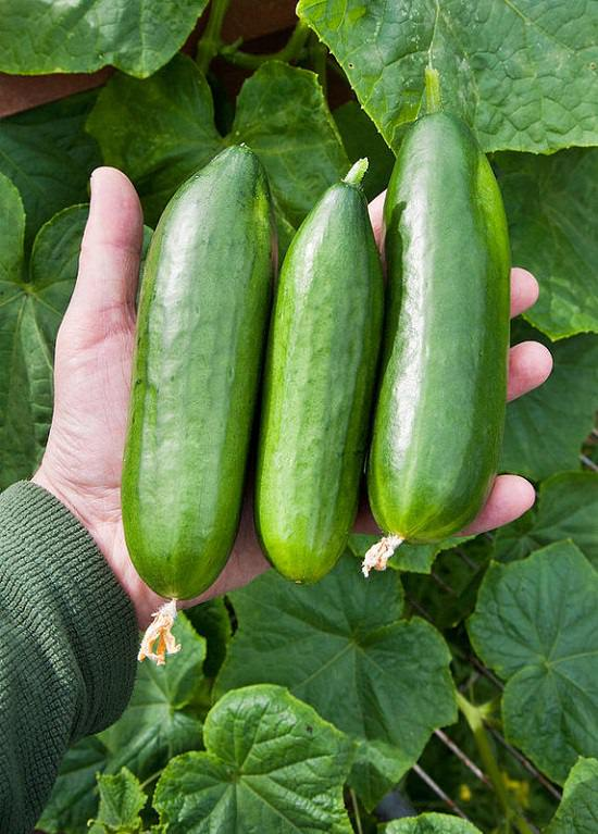 Use Epsom Salt for Cucumbers to improve productivity and grow crispy and juicy cucumbers.