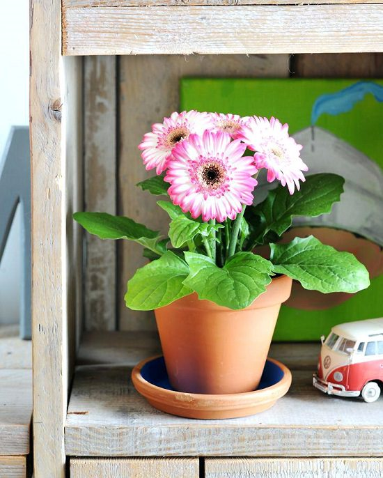 Learn everything about Gerbera Daisy Care & Growing to grow this magnificent flowering plant both indoors and outdoors.