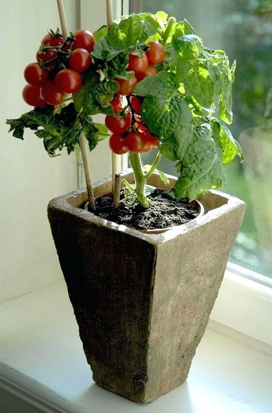 Everything About Growing Tomatoes Indoors