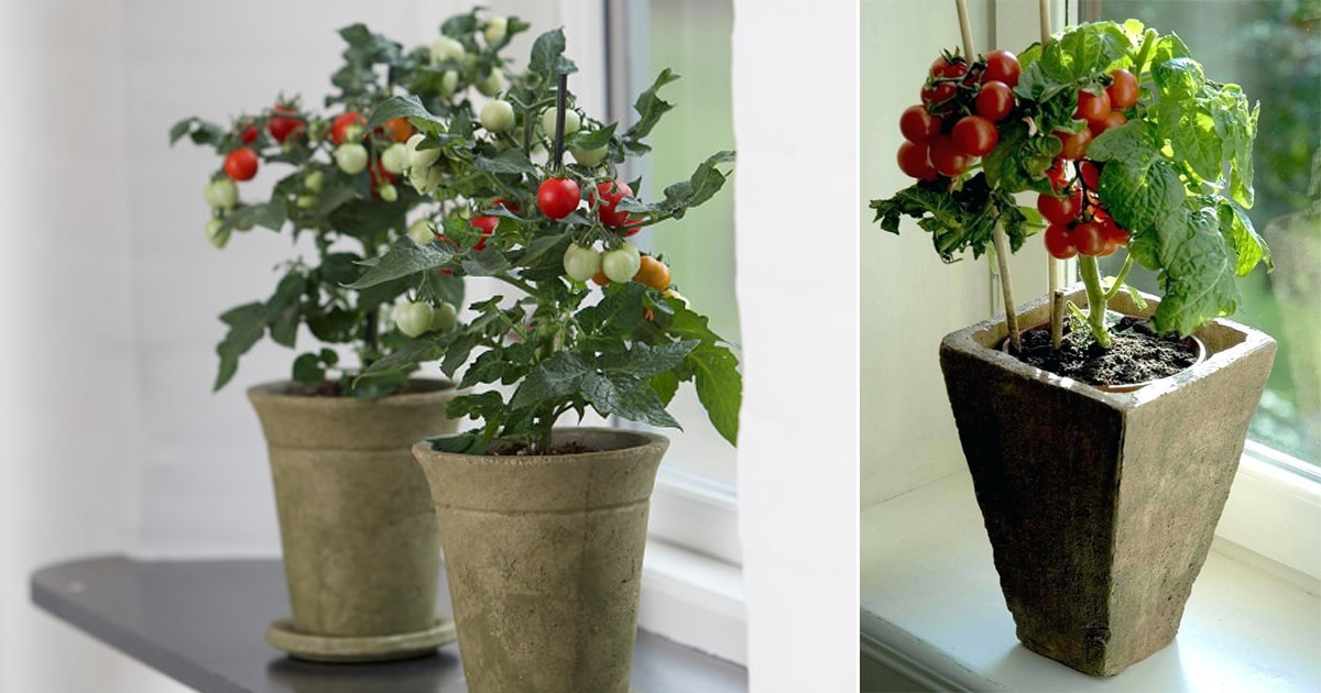 Everything About Growing Tomatoes Indoors Balcony Garden Web
