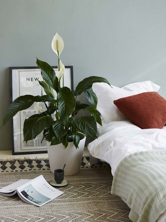 Amazing Peace Lily Plant Benefit