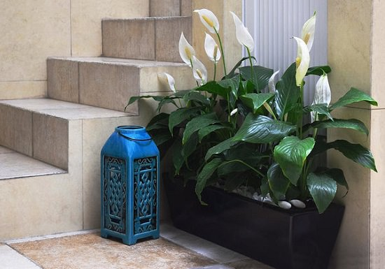 Peace Lily Care and Growing is easy, it grows in low light and purifies the air--All these facts make it a perfect houseplant for homes and offices!