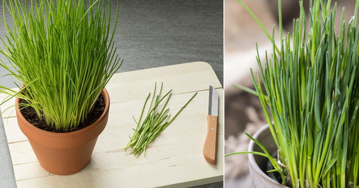 Growing Chives Indoors Year Round Balcony Garden Web