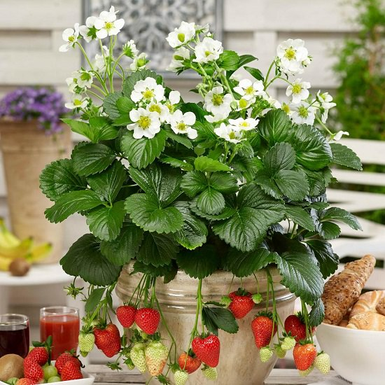 When To Plant Strawberries Balcony