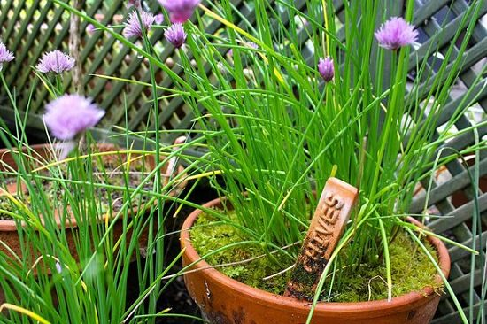 Growing Chives In Pots Its Care Balcony Garden Web