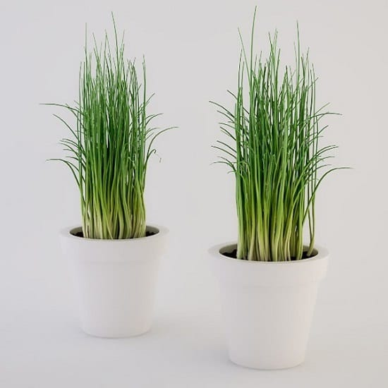 Growing Chives Indoors is easy. Doing this will give you an option of a fresh year-round harvest of this herb.