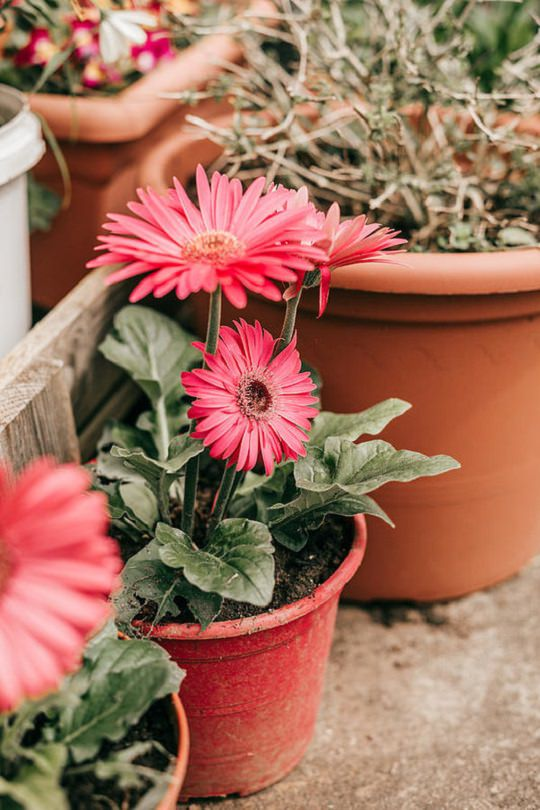 Gerbera plant care and growing in pots and containers