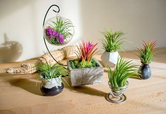 Amazing Benefits of Air Plants