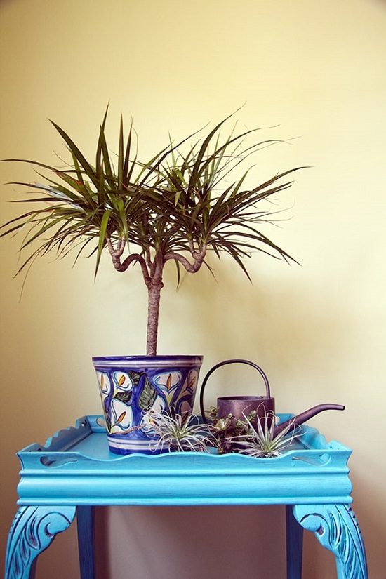 Benefits of Dracena Plant
