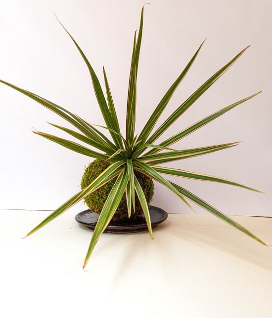 Dracaenas have long been gardener's favorite for their ornamental value.
