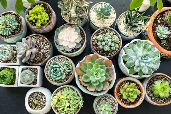 31 Types of Succulents