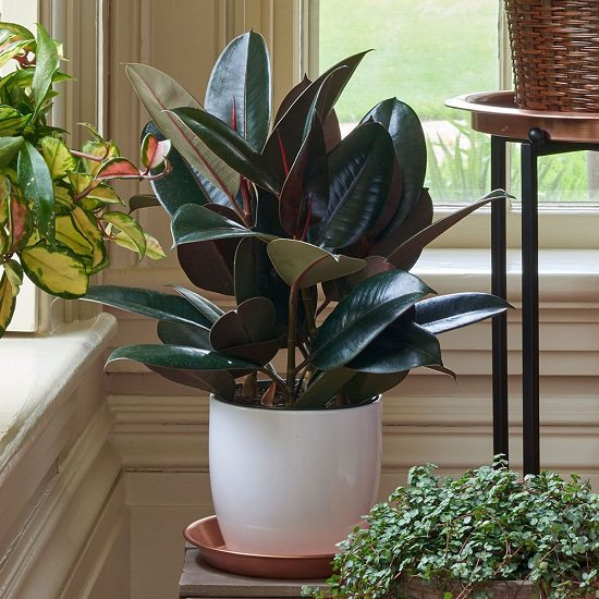 These 7 Amazing Rubber Plant Benefits and Facts will make this houseplant a must-have in your indoor plant collection!